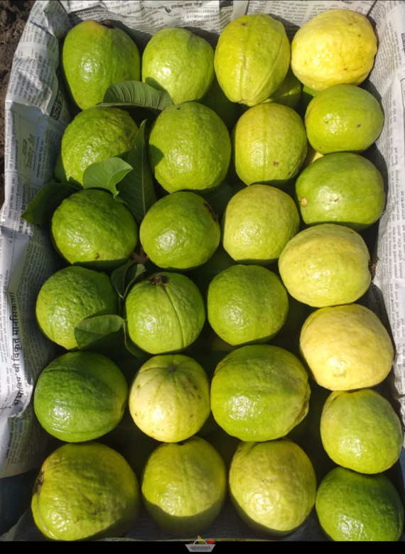 Fresh Guava Fruits from Aptso Mart Online Grocery Store-Palani Ayakudi
