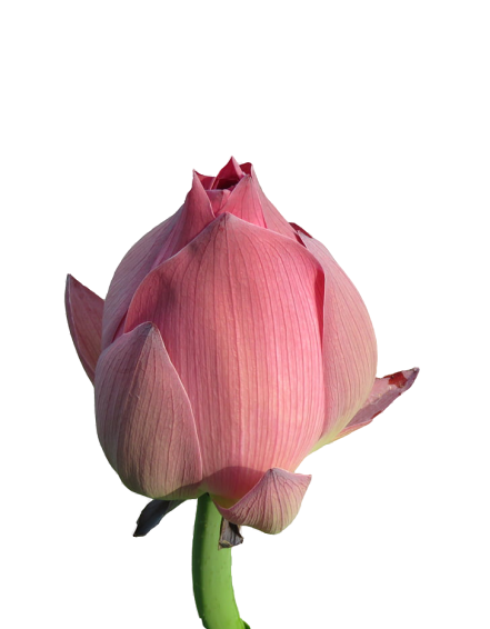 Buy Online Lotus Flower Buds தாமரை மொட்டு from AptsoMart Online Grocery shopping Store Coimbatore, Salem and Dindigul